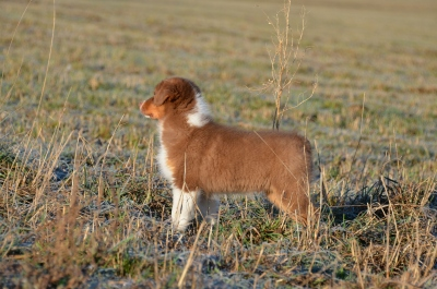 Australský ovčák štěne s P.P.