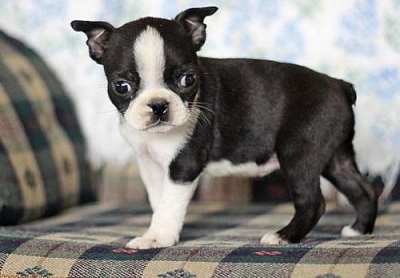 13258581662974572451-pictures-of-boston-terrier-puppies-for-sale-3511-140105021952.jpg