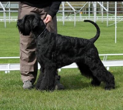 Knirač velký černý štěn. s PP
