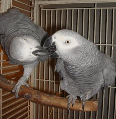 2a420808dd6aad5bc2678002c0a3bac2--african-grey-parrot-africans.jpg