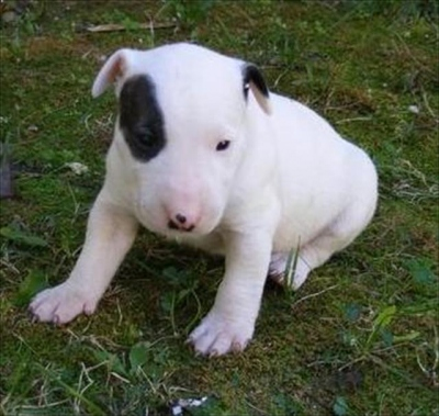 3211-42923-98689-buul-terrier-lindissimos-filhotinhos.jpg