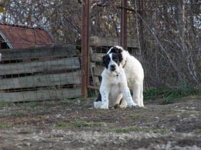Středoasijský pastevecký pes s PP