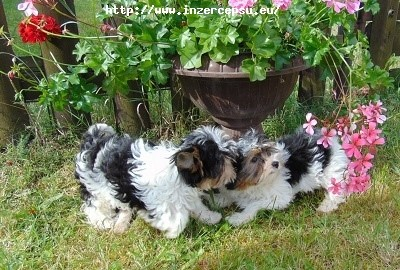 Biewer yorkshire terrier - štěňátka s PP