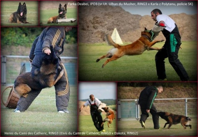 Belgický ovčák tervueren - pracovní spojení