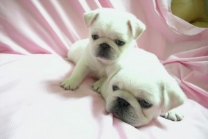 Krásné čistě chované mopsl Puppies ready