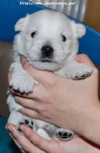 West highland white terrier (westík)- štěňata s PP