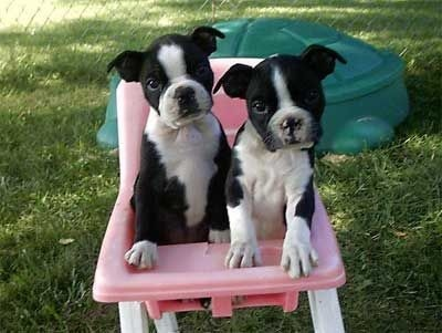 6e4a15d6865b73ea6484cb35a77461d2--teacup-boston-terrier-boston-terrier-puppies.jpg