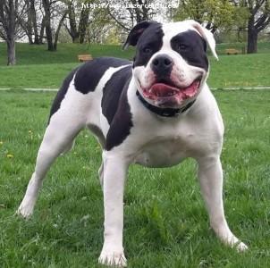 Americky Buldok / American Bulldog