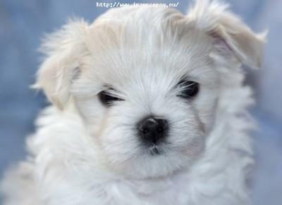 Maltézský psík (maltézáček) s PP