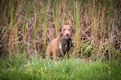 Chesapeake bay retriver s PP (jako hnědý labrador)