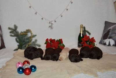 Čokoládová štěňátka Labradorského retrievera