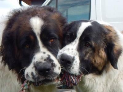 Prodej štěňátek moskevského strážního psa