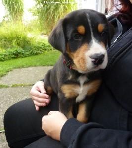 Velký švýcarský salašnický pes štěňata s PP k odběru