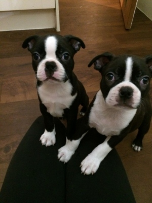 beautiful-boston-terriers-puppies-for-sale-5af09dcd8bcd3.jpg