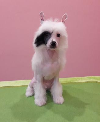 Nádherný čínský chocholatý pes - naháč štěně s PP