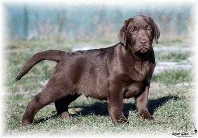 Labrador retriever - krásná tmavě čokoládová štěňátka s PP