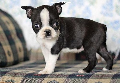 Cyklo-Velobazar obrázek 13258581662974572451-pictures-of-boston-terrier-puppies-for-sale-3511-140105021952.jpg