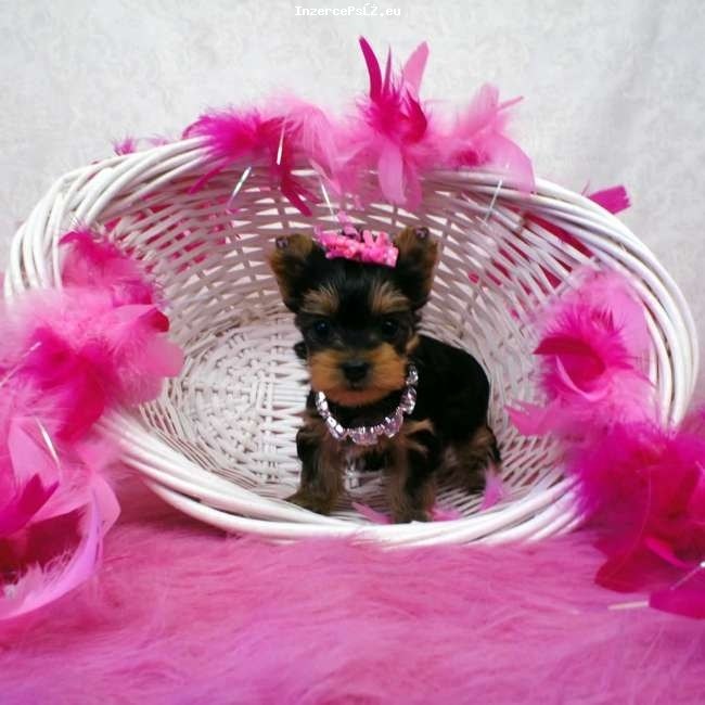 Cyklo-Velobazar obrázek mini-yorkie-puppy-for-sale-kylie2.jpg