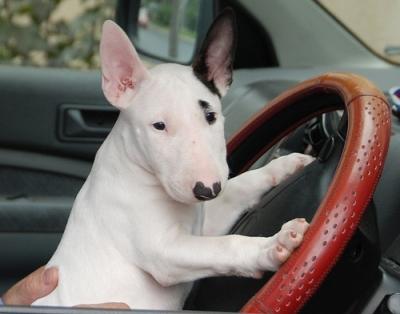1-bull-terrier-english-bull-terriers-2108988-500-392.jpg