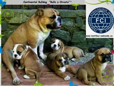 Kontinentální buldok-Continental Bulldog PP FCI