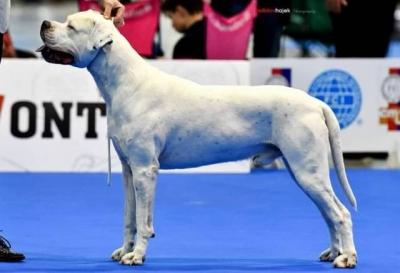 Argentinská doga (Dogo Argentino) - štěňata