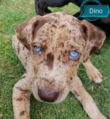 Louisianský leopardí pes s PP