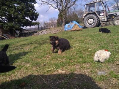 Prodám štěňátka německého ovčáka s PP,  černá se znaky