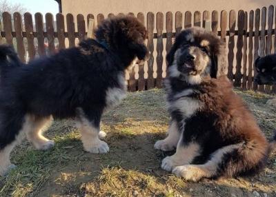 Tibetská doga - šteniatka zo zahraničného krytia