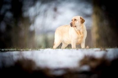 Labrador retriever žlutý s PP(pejsci i fenky)