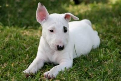 bull-terrier-puppy.jpg