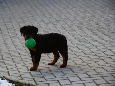 Prodám štěně fenku s průkazem původu