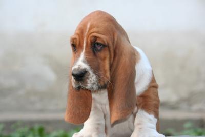 Baset-Basset hound