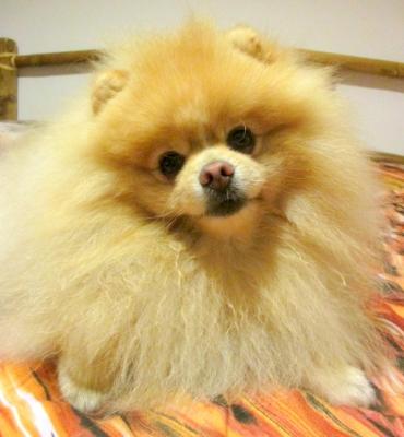 Pomeranian - nabídka krytí