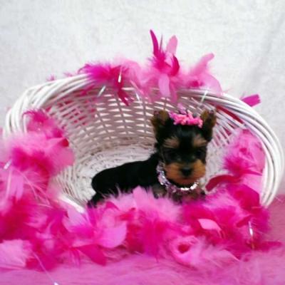 mini-yorkie-puppy-for-sale-kylie1.jpg