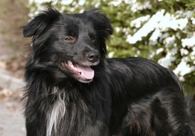 Pyrenejský ovčák - štěňata s PP