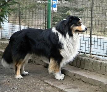 Australský ovčák špičkový chovný pes s PP